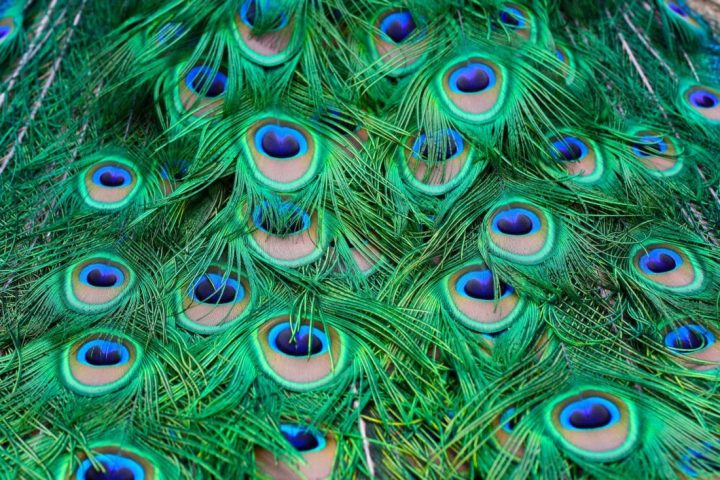 Die Pfaueninsel – Flucht ins Grüne