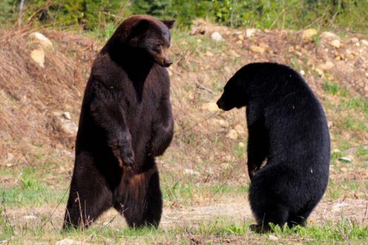 Jasper Nationalpark – Kitschige Seen und Bärenkämpfe