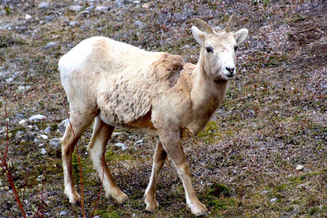 Bergziege im Jasper Nationalpark Kanada - Reisebericht und Foto von CicoBerlin
