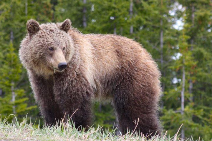 Banff Nationalpark: Ich suchte Elche und bekam Bären