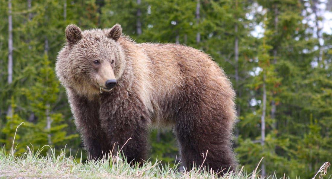Junger Grizzly im Banff Nationalpark, Kanada - Foto und Reisebericht von PASSENGER X