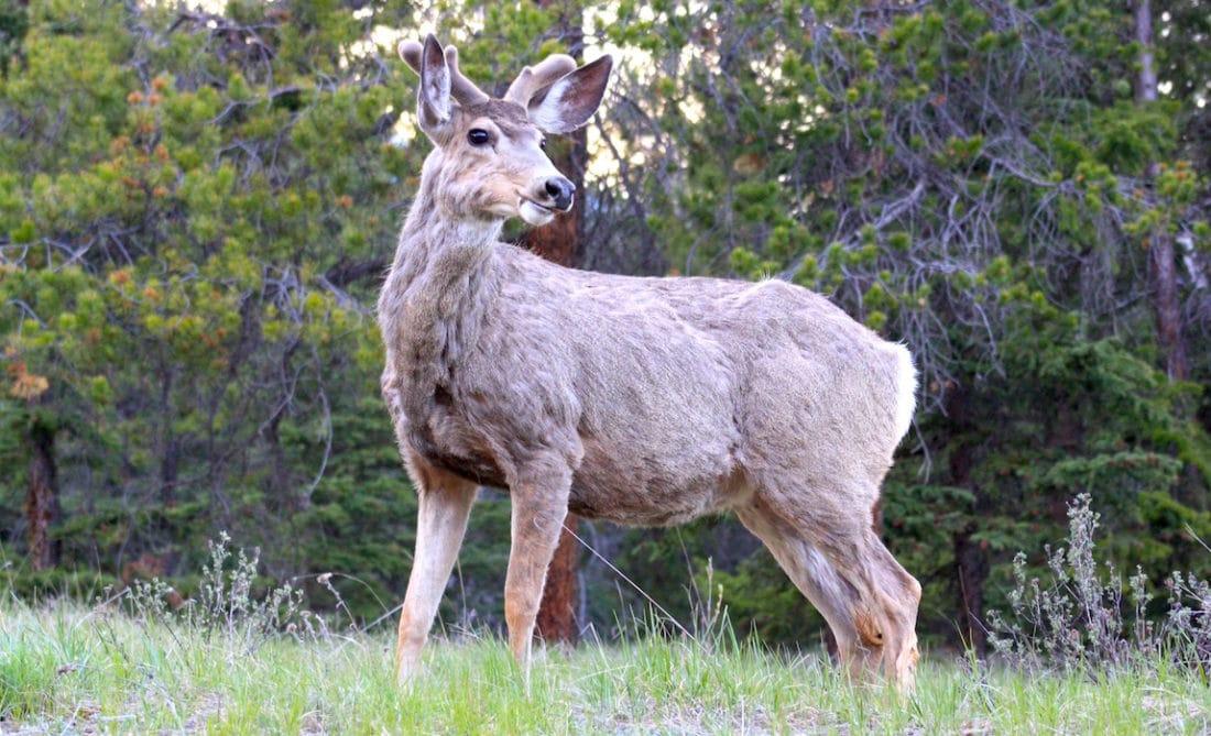 Wild im Jasper Nationalpark Kanada - Reisebericht und Foto von CicoBerlin