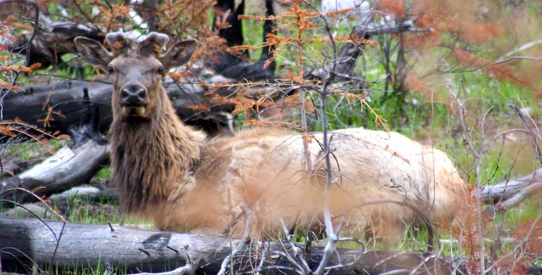 Kanada: Hirsch im Banff Nationalpark - Reisebericht und Foto von CicoBerlin
