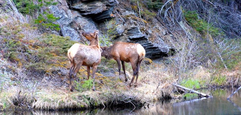 Hirsche im Jasper Nationalpark Kanada - Reisebericht und Foto von CicoBerlin
