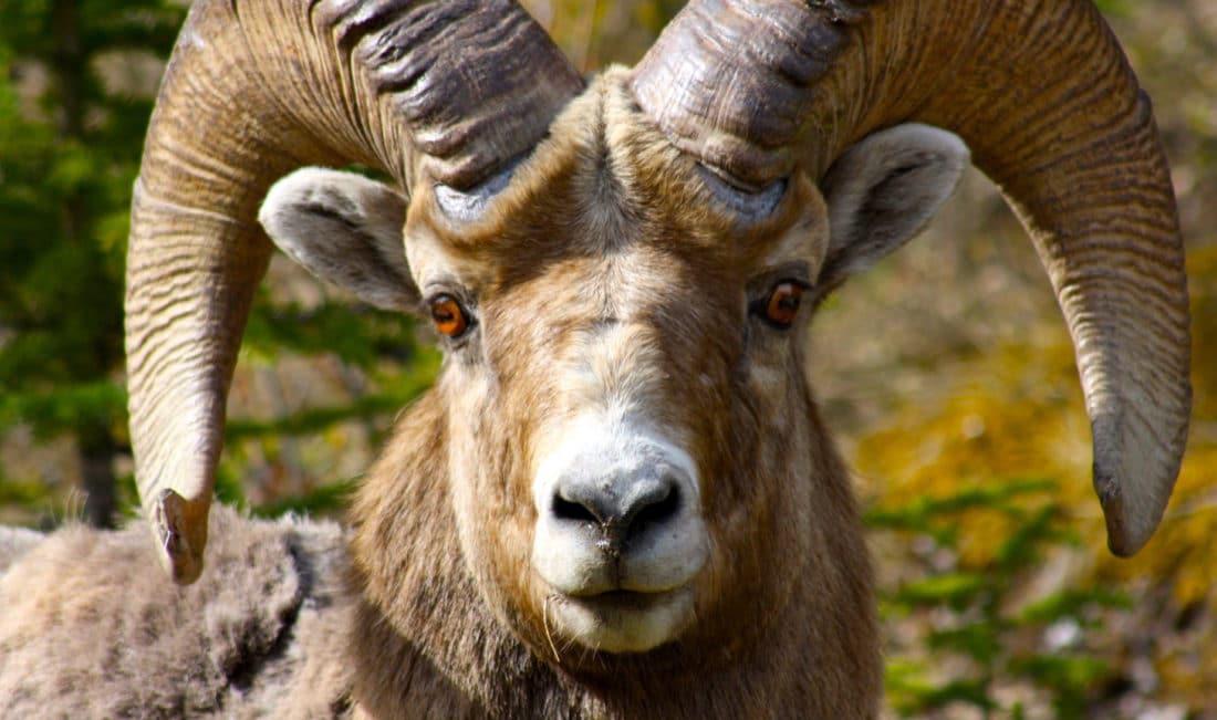 Kanada: Großhornschaf im Banff Nationalpark Reisebericht von CicoBerlin