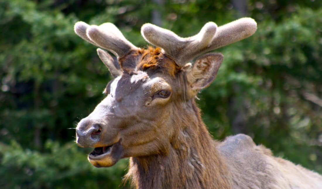 Kanada: Hirsch im Banff Nationalpark Reisebericht und Foto von CicoBerlin
