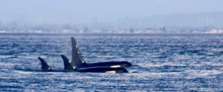 Vancouver Island: Walewatching und das nicht vorhandene Indianerdorf