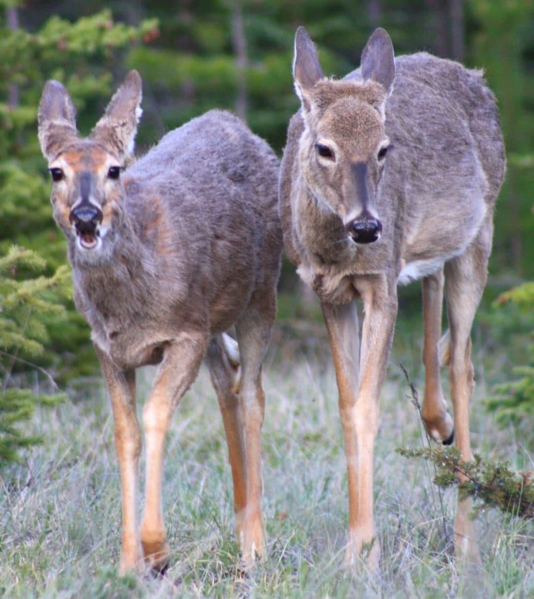 Rehe im Jasper Nationalpark Kanada - Reisebericht und Foto von CicoBerlin