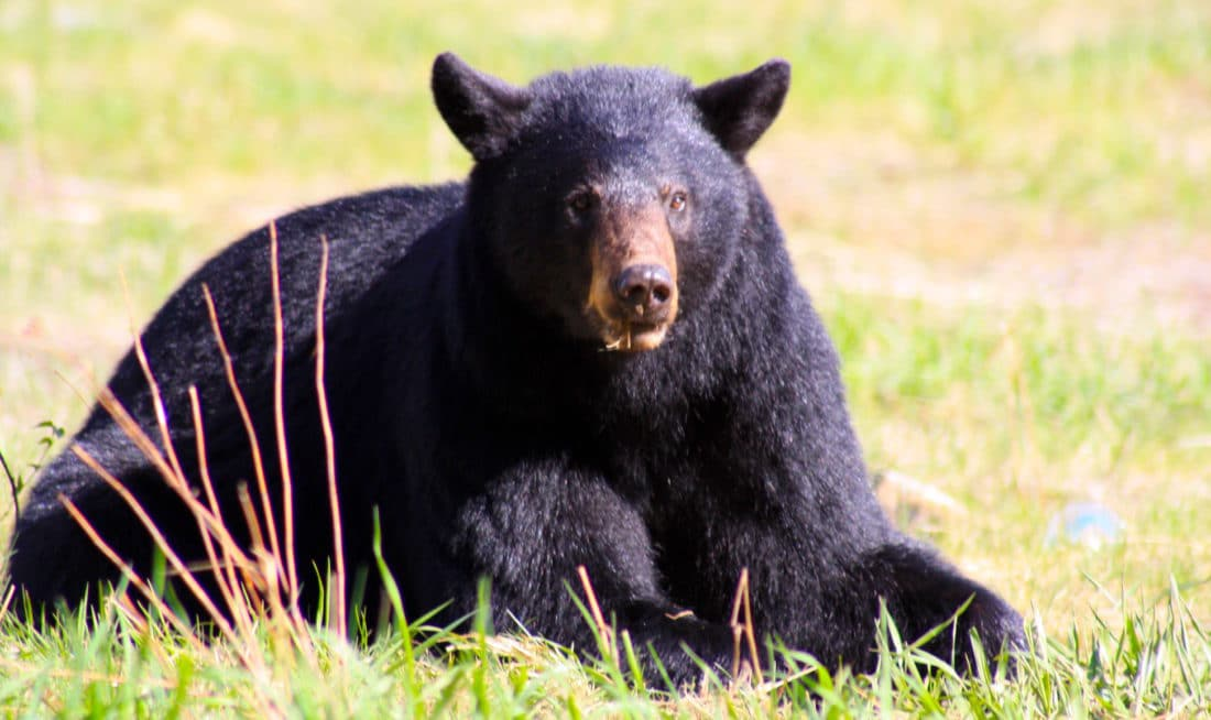 Schwarzbär im Jasper Nationalpark Kanada - Reisebericht und Foto von CicoBerlin