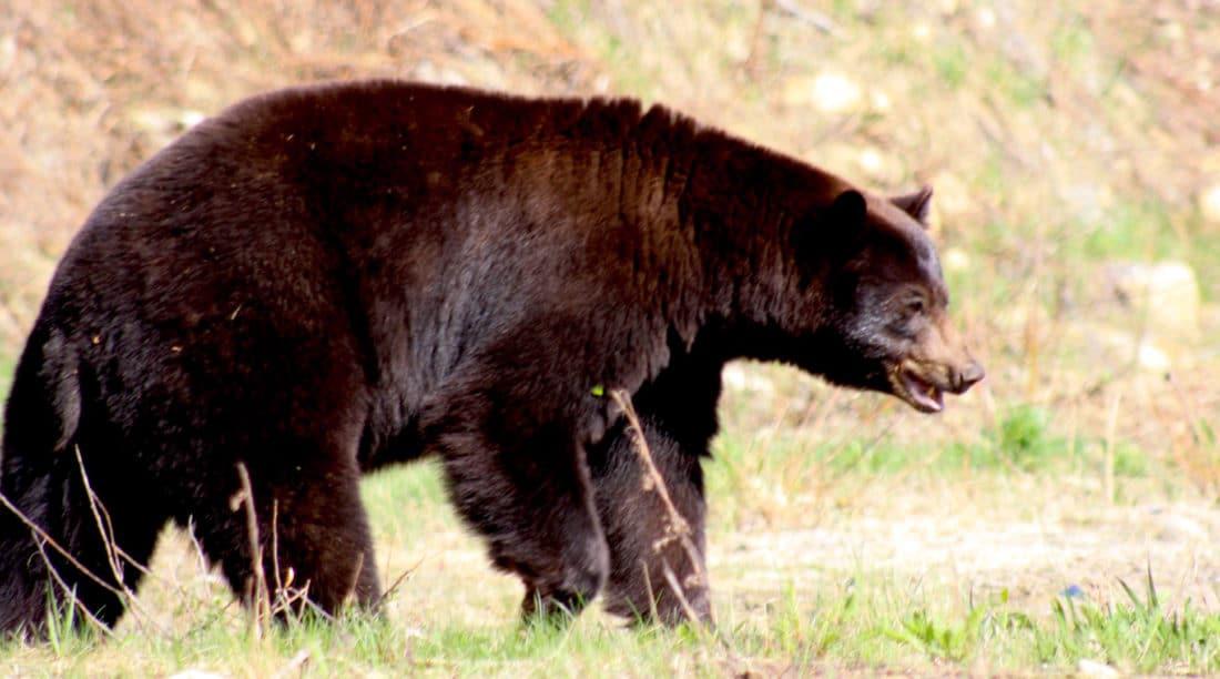 Braunbär im Jasper Nationalpark Kanada - Reisebericht und Foto von CicoBerlin