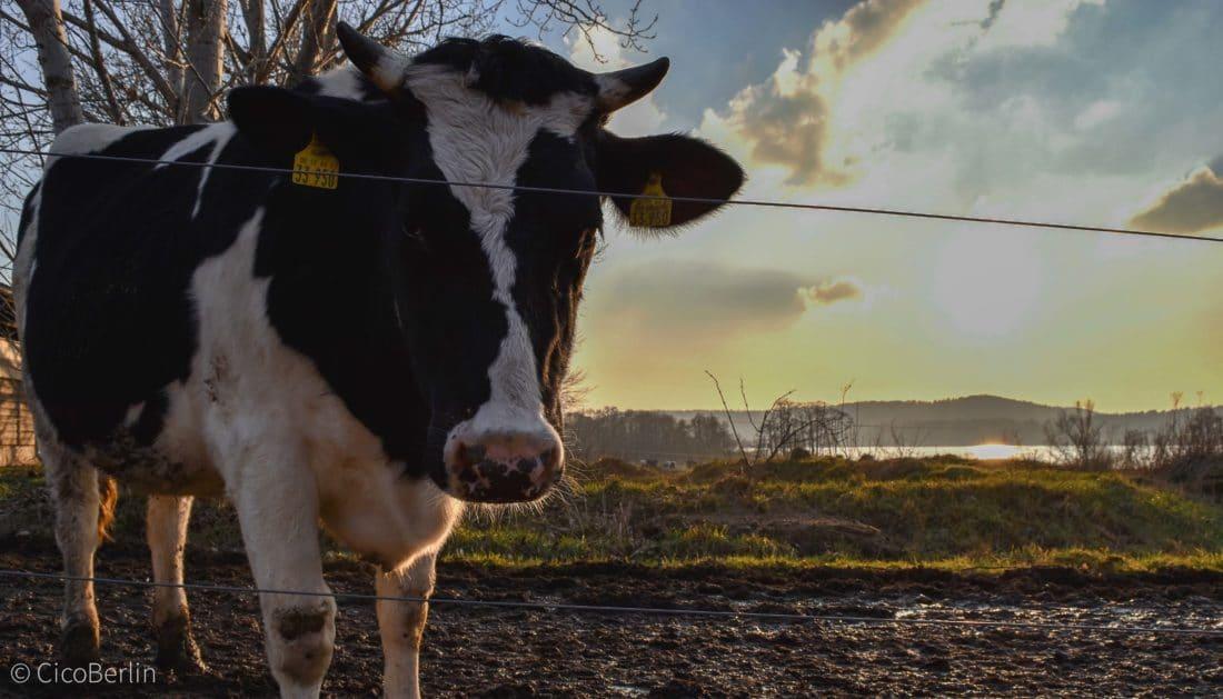 Kuh biologische Landwirtschaft Oekodorf Brodowin