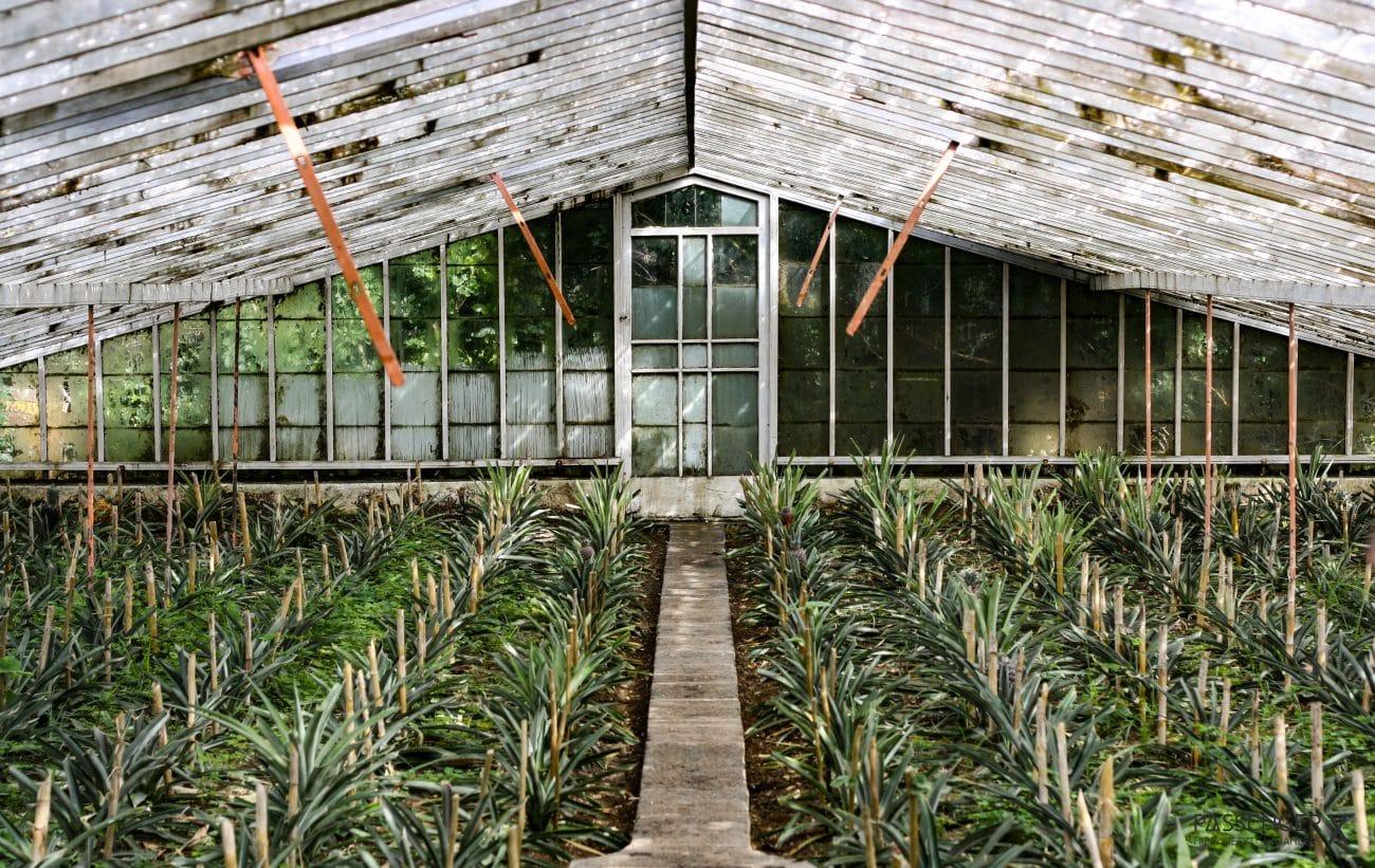 Top Highlights Azoren, Sao Miguel, Ananasplantage - von PASSENGER X