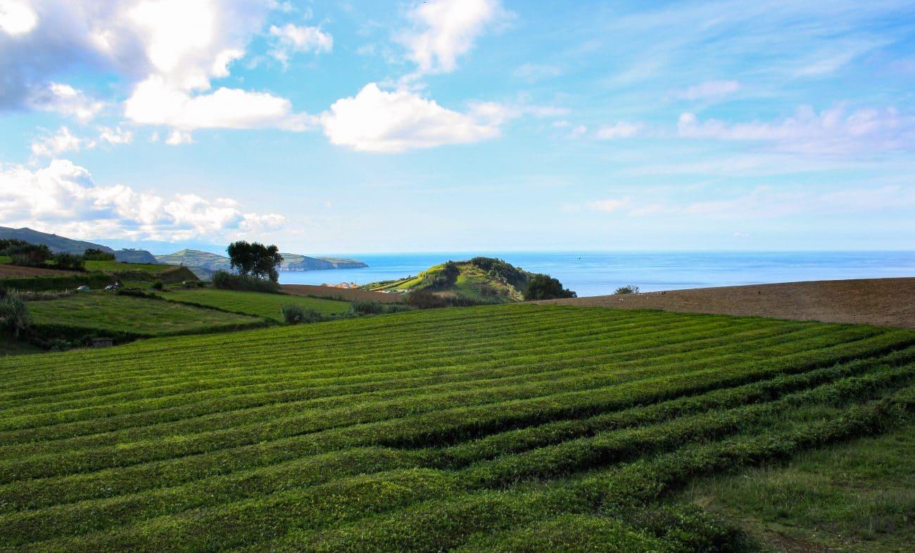Top Highlights Azoren- Teeanbau auf Sao Miguel - Tipps von PASSENGER X