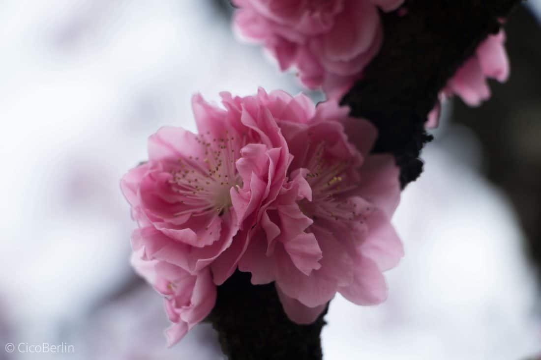 Pflaumenblüte Kyoto