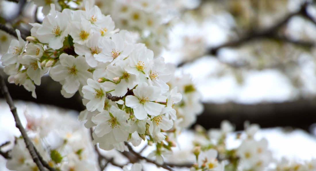 Tokio Highlights für deine Japan Reise - die Kirschblüte