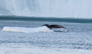 Walewatching in Ilulissat, Buckelwale in Grönland