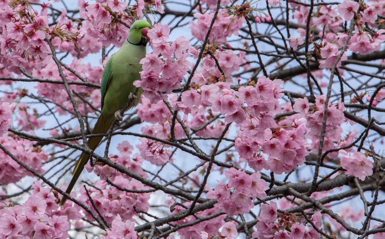 Die 10 Highlights Tokios, die Kirschblüte - von PASSENGER X