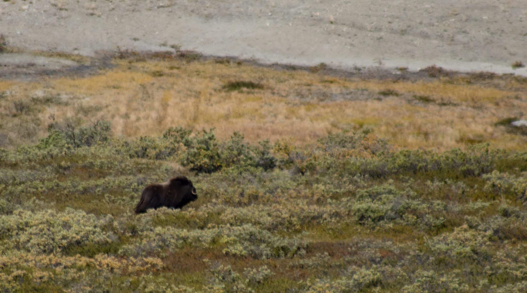 Moschusochse in Kangerlussuaq Grönland _ PASSENGER X
