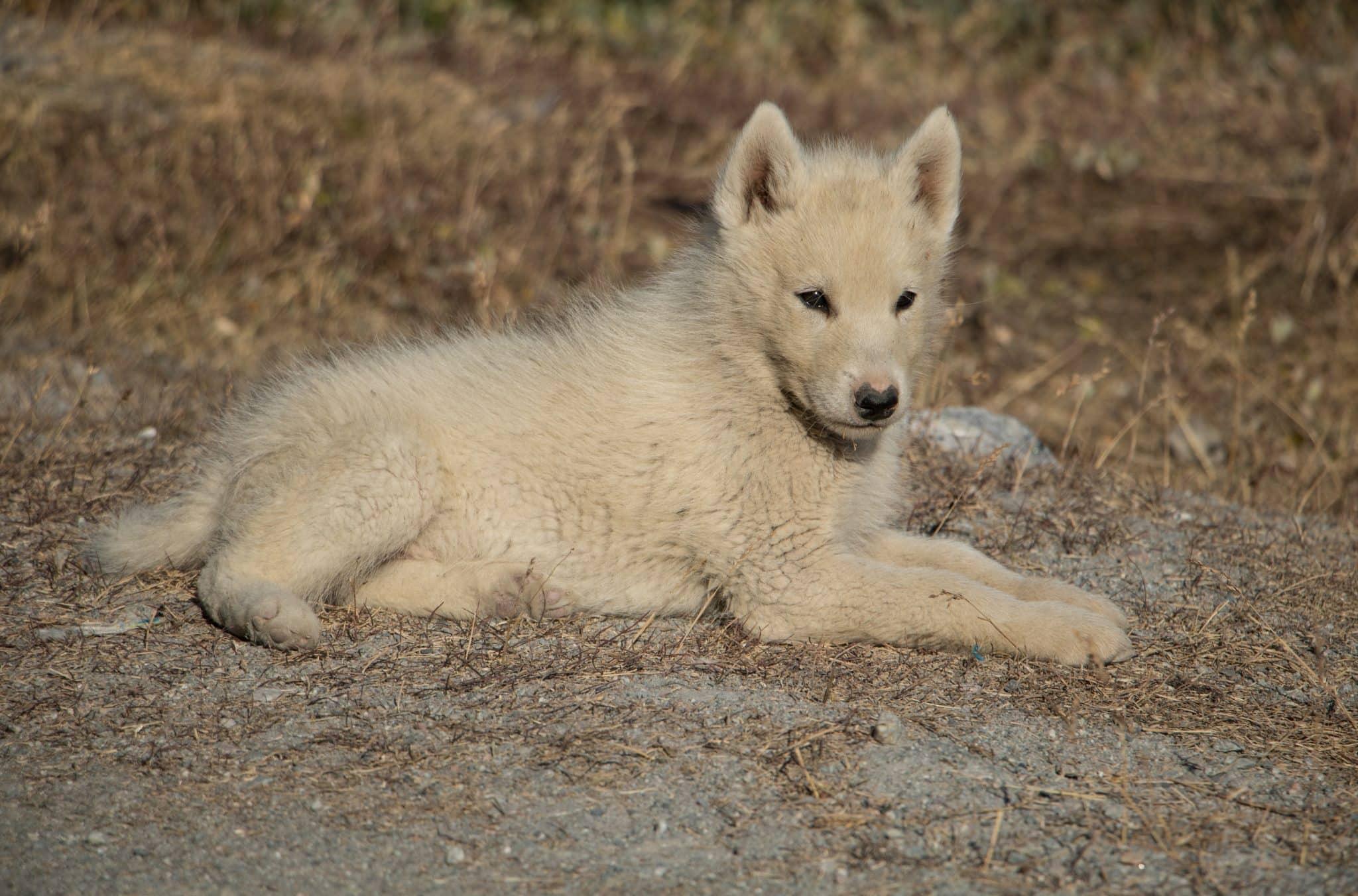 Schlittenhund Grönlandhund in Ilulissat Groenland