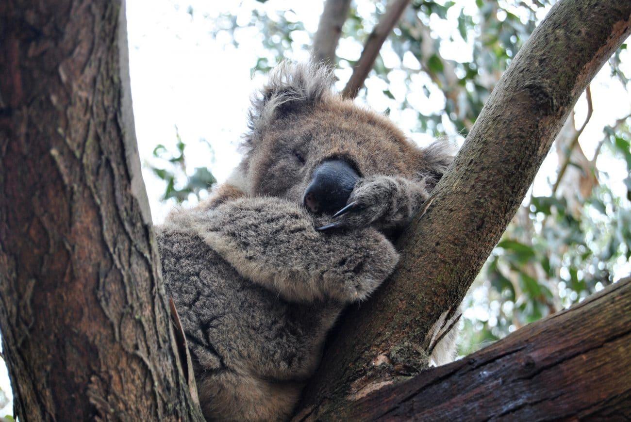 Sabbatical Interview_Denny und Sarah unterwegs_Koala