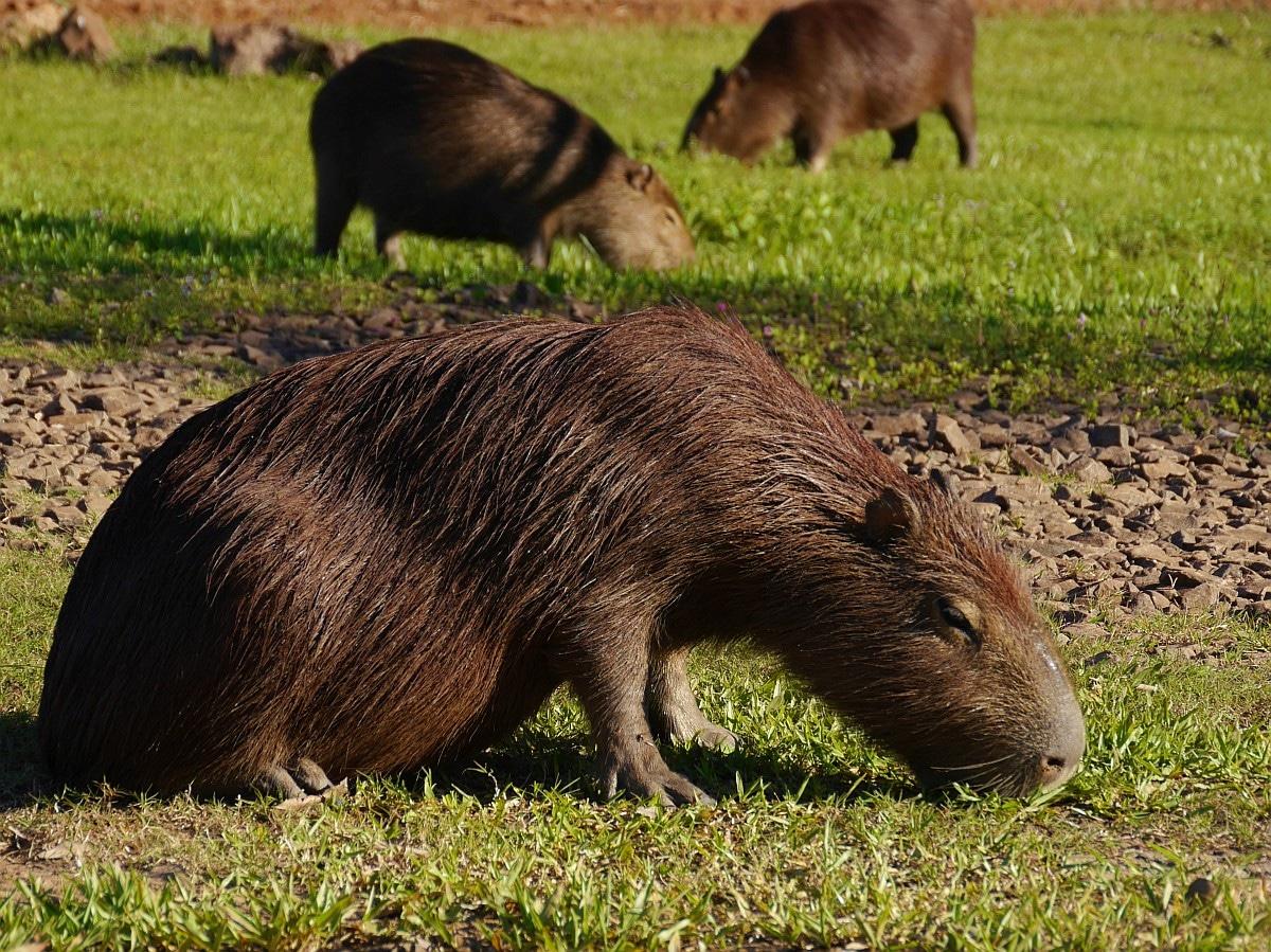 Südamerika Sehenswürdigkeiten Argentinien_Wasserschweine in Esteros