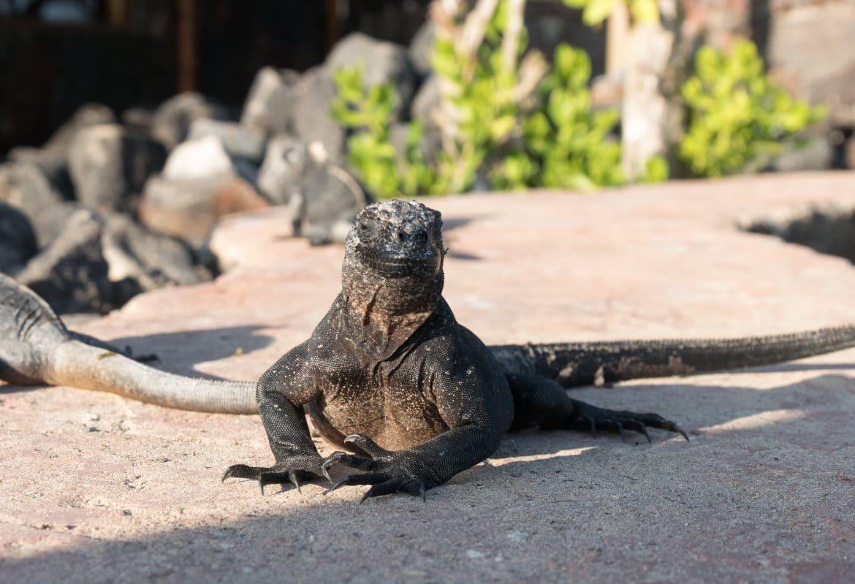 Sehenswürdigkeiten Ecuador Reise - Iguana