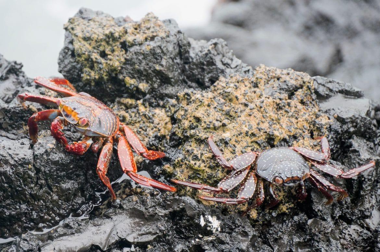 Sehenswürdigkeiten Ecuador Rundreise Galapagos Isabella Sally Lightfood Krabben