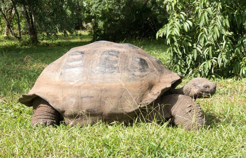 Sehenswürdigkeiten Ecuador Rundreise Galapagos-Schildkröte