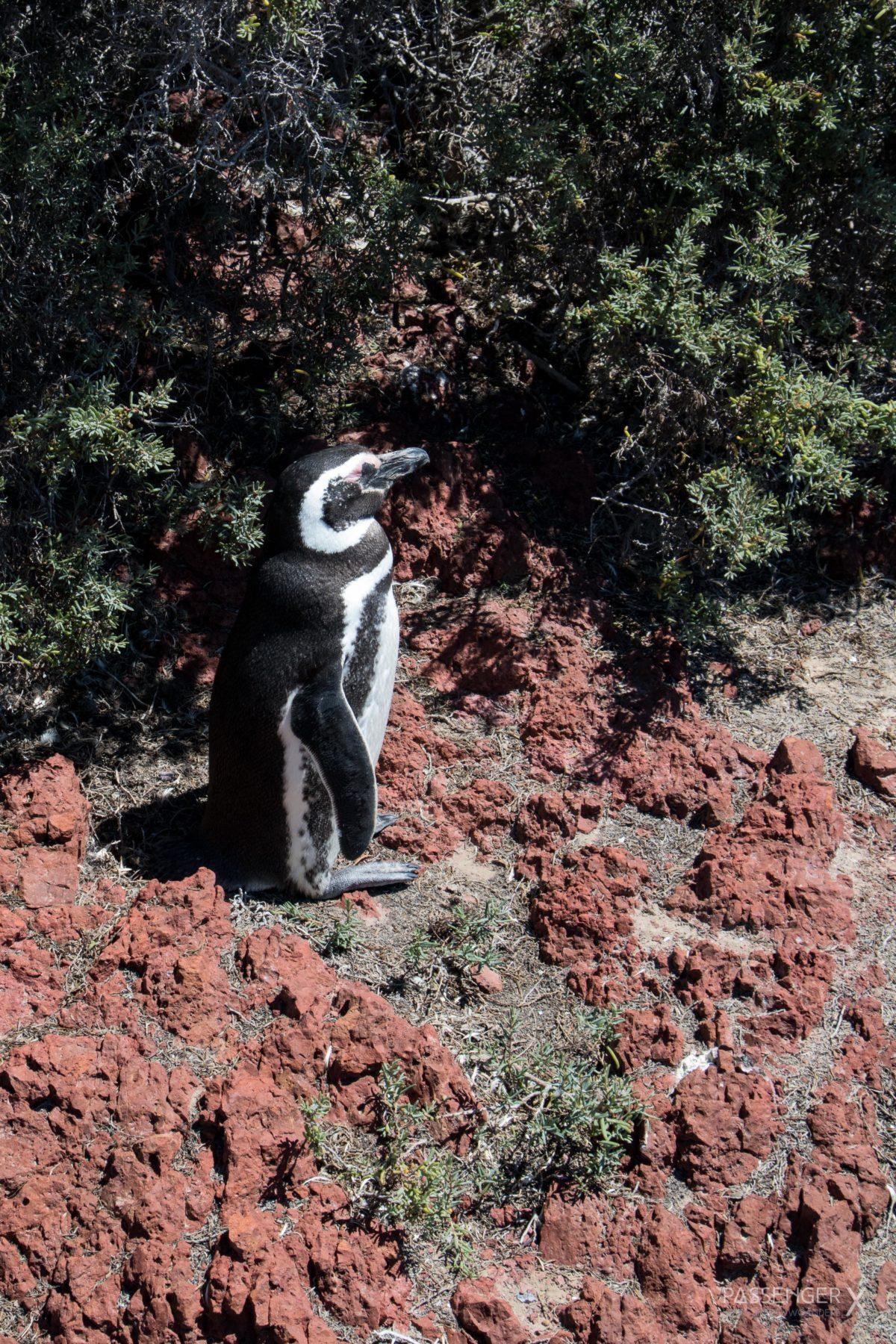 Die einzigartige Schönheit Argentiniens kannst du in Patagonien erleben. Ein besonders eindrucksvoller Ort ist die Region um Puerto Madryn. Whale Watching auf Peninsula Valdes und Pinguine am Punta Tombo - cooler geht's nicht. Wildlife Abenteuer pur. PASSENGER X verrät dir die Spots.