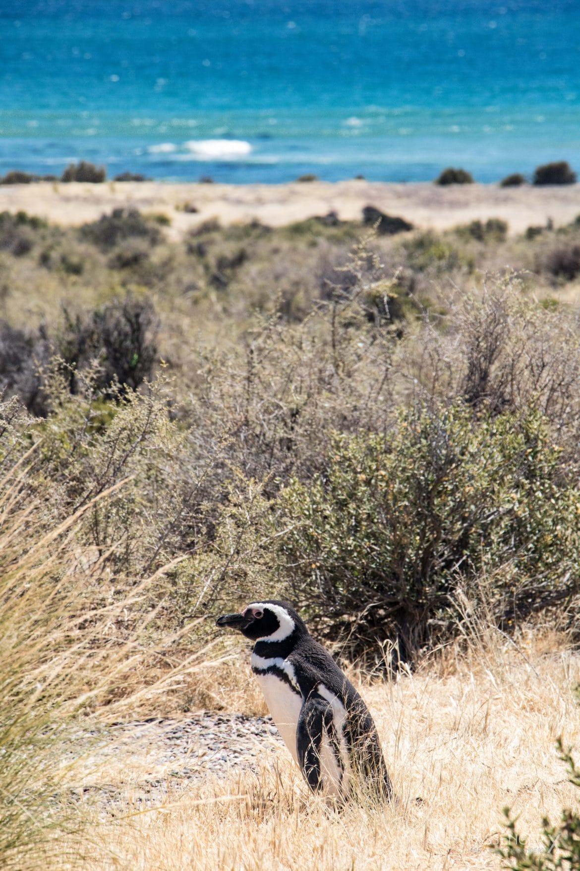 Meine schönsten Argentinien Fotos _ Pinguine am Punta Tombo in Patagonien - Foto und Geschichte von PASSENGER X