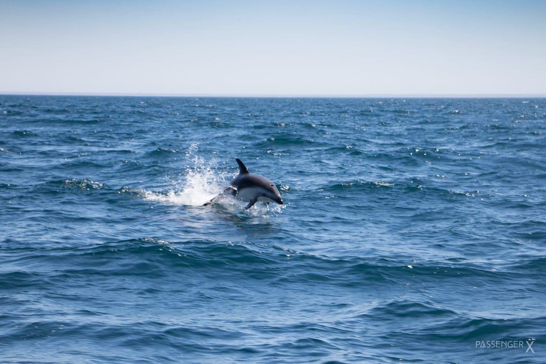 Meine schönsten Argentinien Fotos - Delfine an der Peninsula Valdes - Foto und Bericht von PASSENGER X
