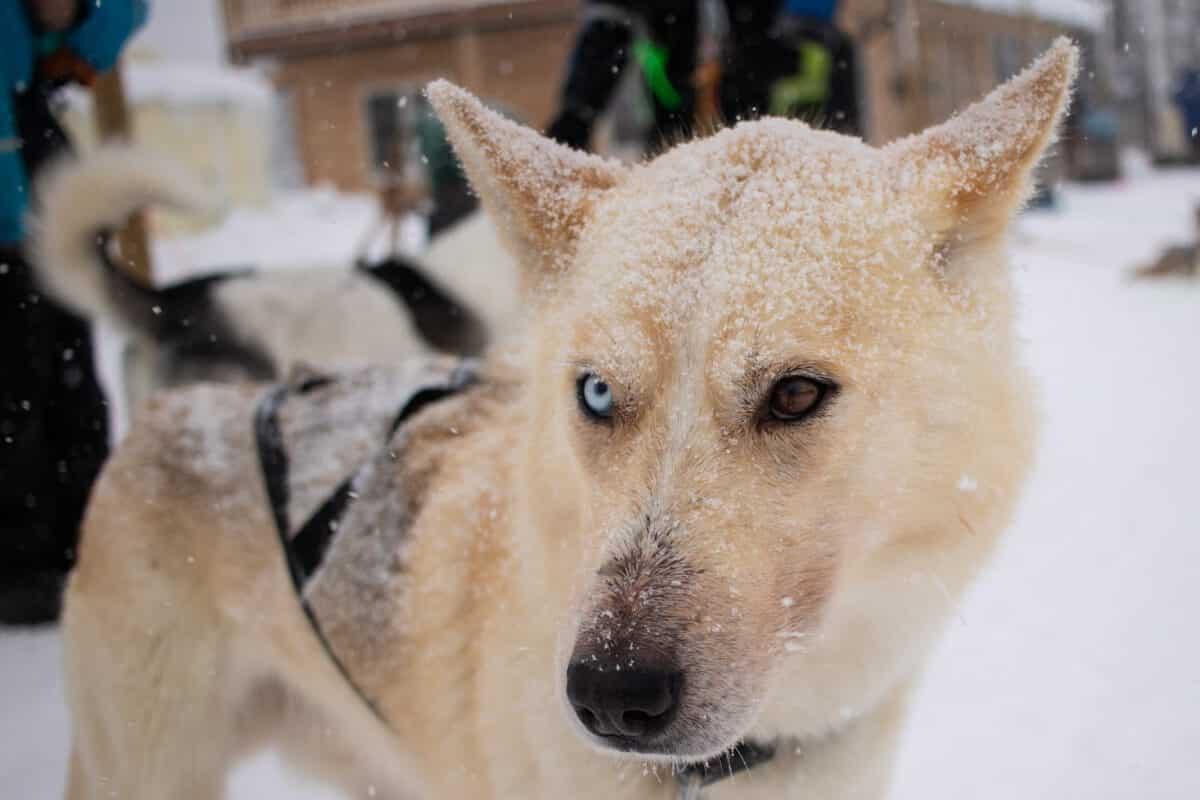 Lappland Finnland Winter Urlaub- Nordlichter, Husky Schlitten Fahren, Rentier Farm und Wandern - die absoluten Highlights von PASSENGER X