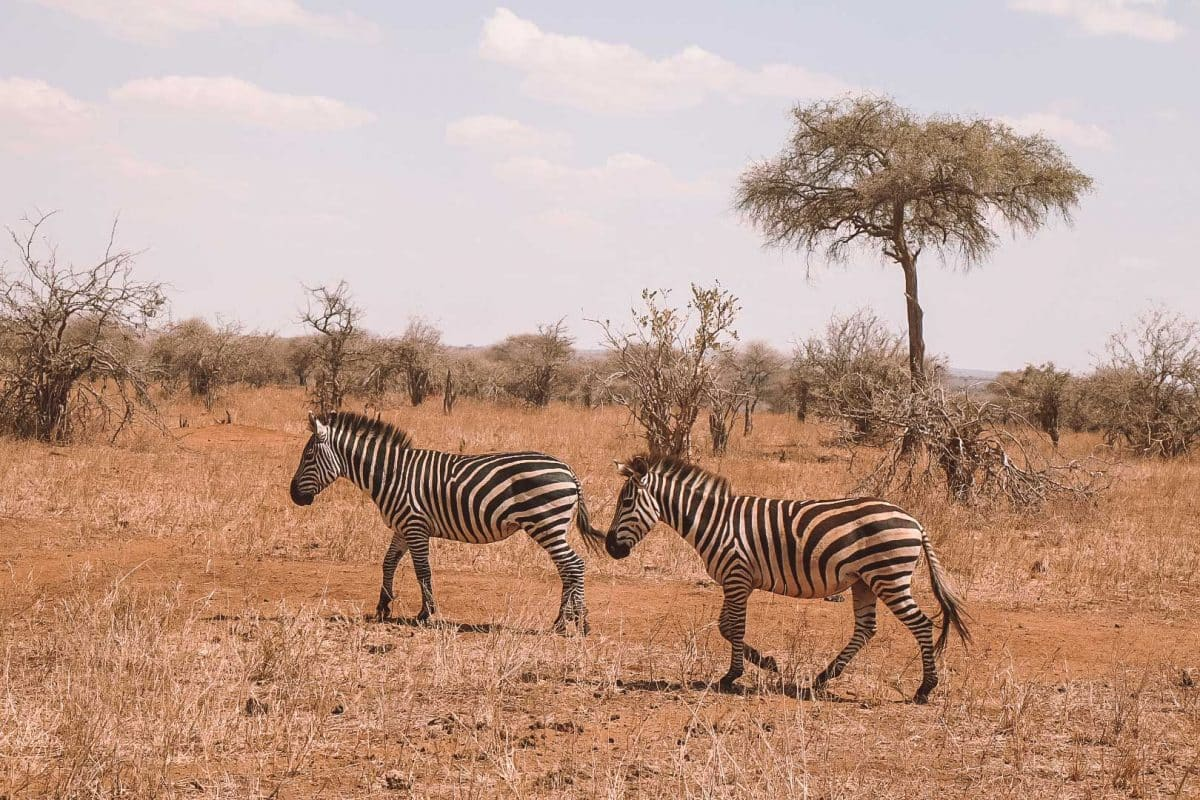 Safari buchen - Reiseblogger Tipps Tansania von PASSENGER X