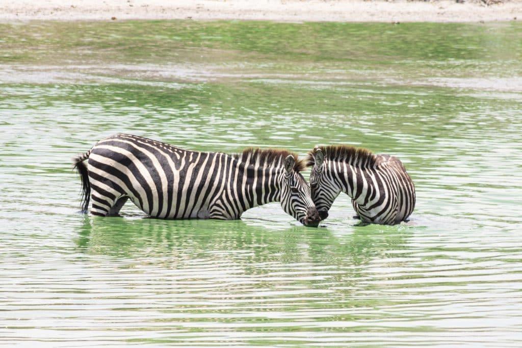 Zebras - Tansania Safari Tour im Tarangire Nationalpark plus die besten Tipps für Tansania Nationalparks von Reiseblog PASSENER X