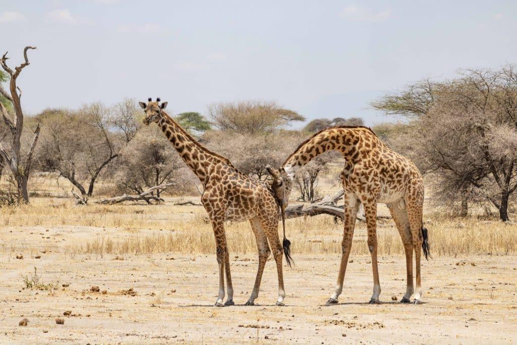 Giraffen - Tansania Safari Tour im Tarangire Nationalpark plus die besten Tipps für Tansania Nationalparks von Reiseblog PASSENER X