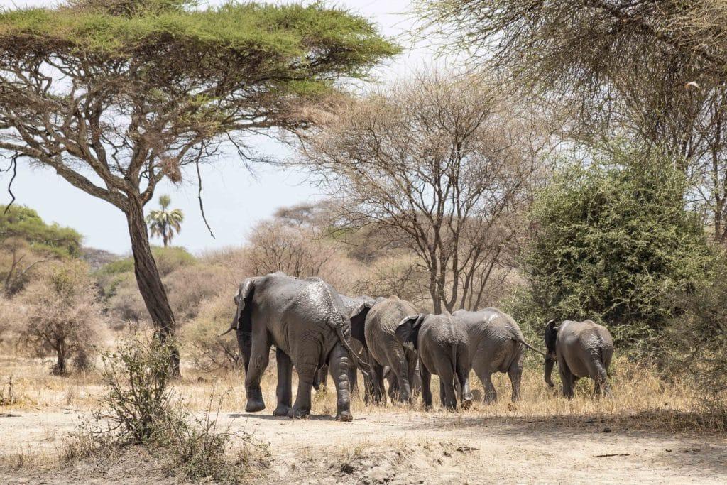 Elefanten - Tansania Safari Tour im Tarangire Nationalpark plus die besten Tipps für Tansania Nationalparks von Reiseblog PASSENER X