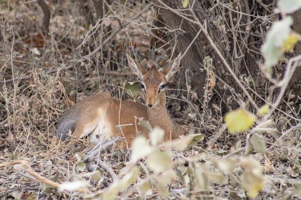 Dikdik - Tansania Safari Tour im Tarangire Nationalpark plus die besten Tipps für Tansania Nationalparks von Reiseblog PASSENER X