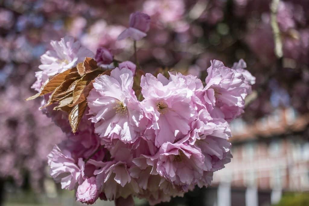 Kirschblüte Harz