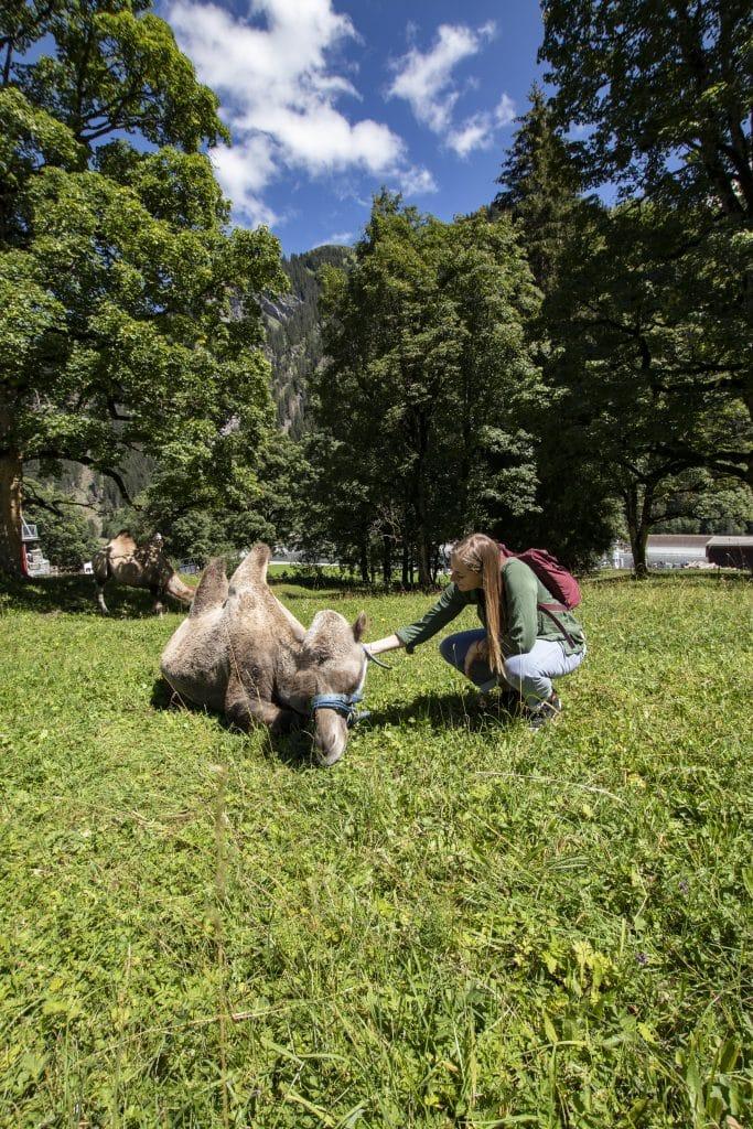 Hof Gädemli Lamas und Kamele im Safiental