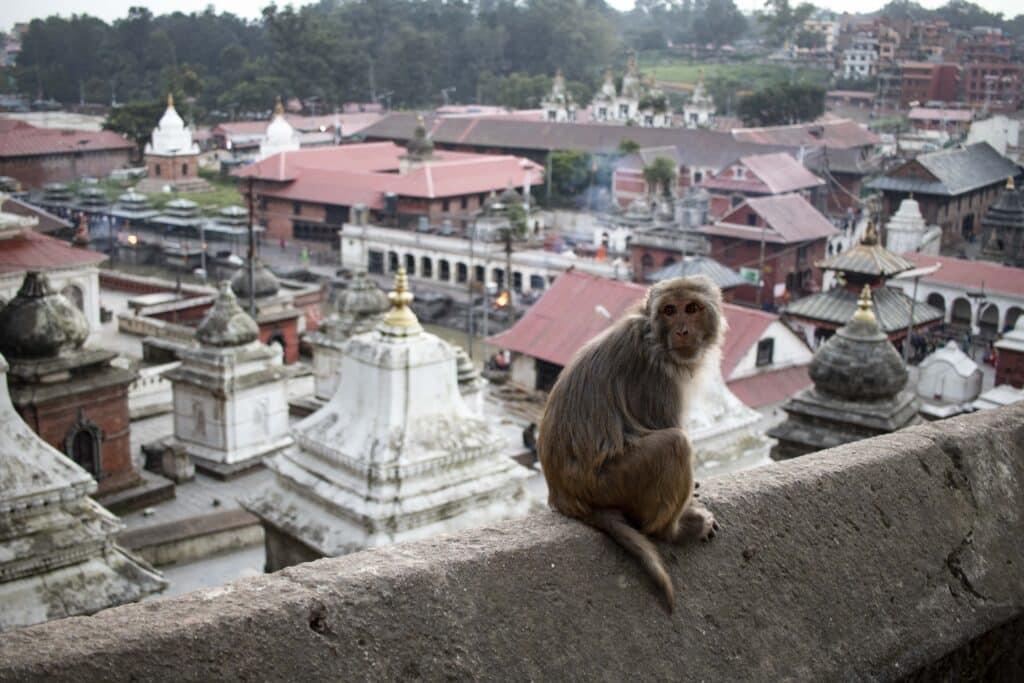 Pashupatinath Temple Kathmandu Affen