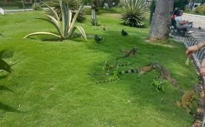 Ecuador Rundreise-Abflug-von-Guayaquil Leguan-Park