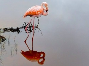 Sehenswürdigkeiten Ecuador Rundreise_Isabella Galapagos_Flamingo