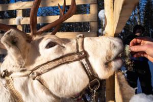 Lappland Finnland Winter Urlaub- Nordlichter, Huskytour und Wandern