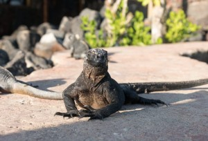 Sehenswürdigkeiten Ecuador Rundreise_Isabella Galapagos_Iguana