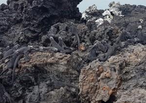 Sehenswürdigkeiten Ecuador Rundreise_Isabella Galapagos_Las-Tintoreras-Suchbild-Iguanas
