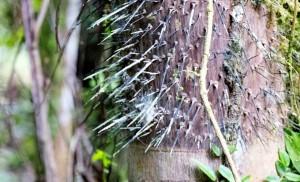 Sehenswürdigkeiten Ecuador Reise  Stachelbaum